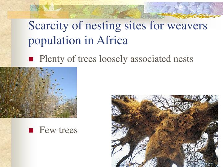 Scarcity of nesting sites for weavers population in Africa