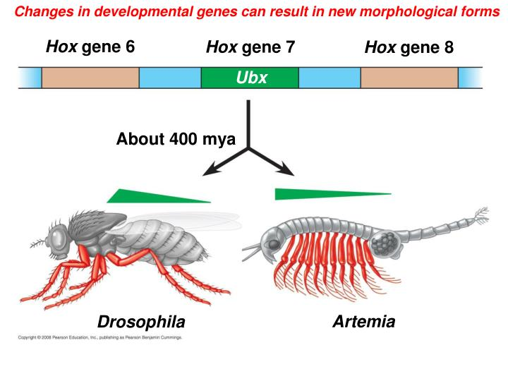 Changes in developmental genes can result in new morphological forms