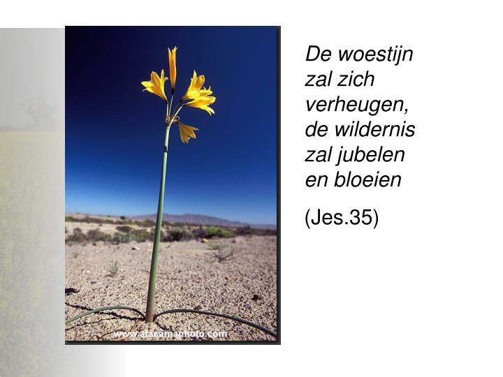 De woestijn zal zich verheugen, de wildernis zal jubelen en bloeien