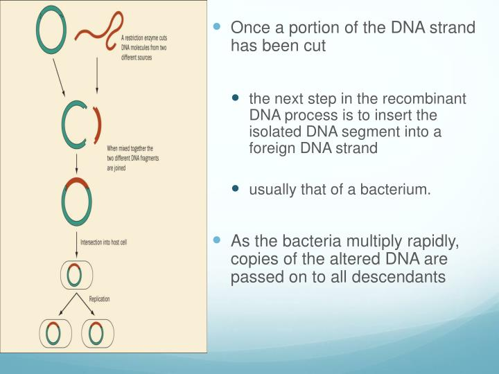 Once a portion of the DNA strand has been cut