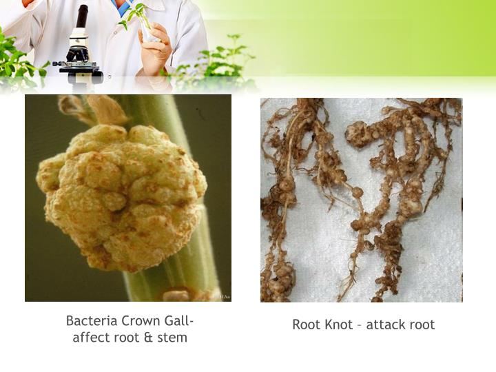 Bacteria Crown Gall-