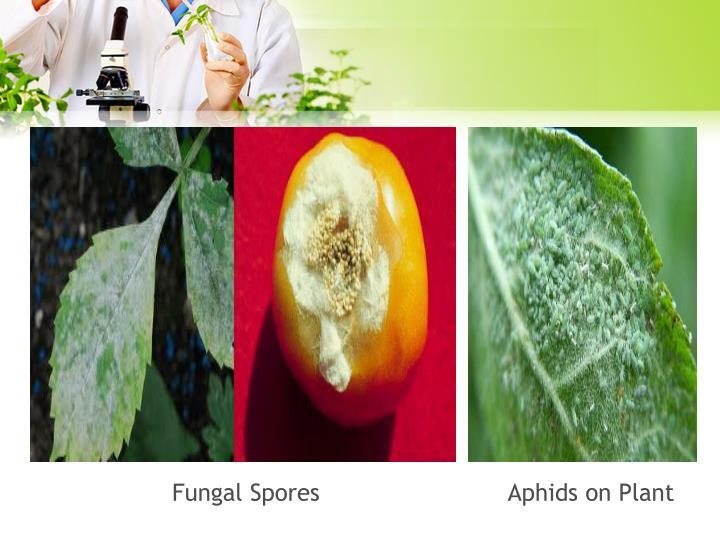 Fungal Spores