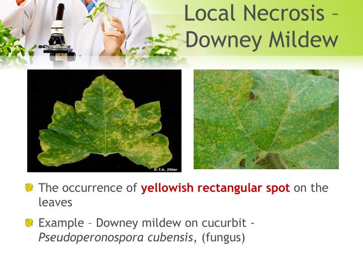 Local Necrosis – Downey Mildew