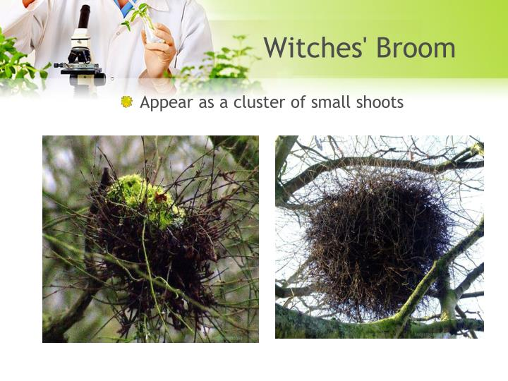 Witches' Broom