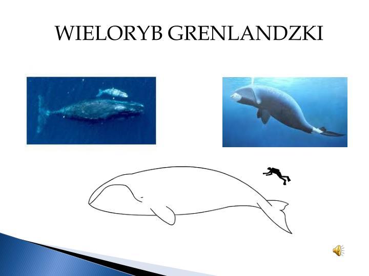 WIELORYB GRENLANDZKI