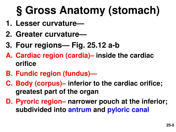 § Gross Anatomy (stomach)