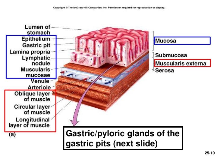 Gastric/pyloric glands of the gastric pits (next slide)