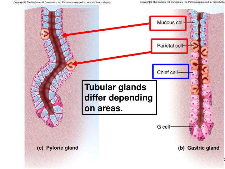Tubular glands differ depending on areas.