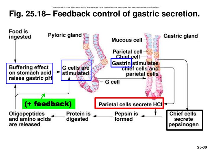 Fig. 25.18– Feedback control of gastric secretion.