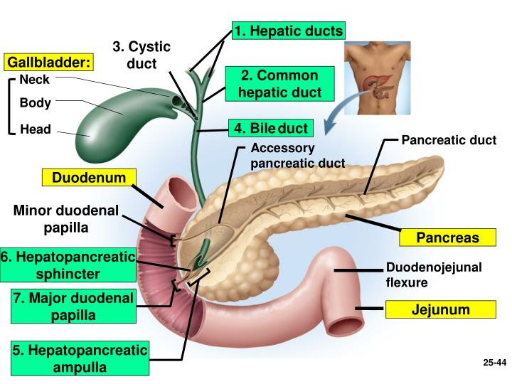1. Hepatic ducts