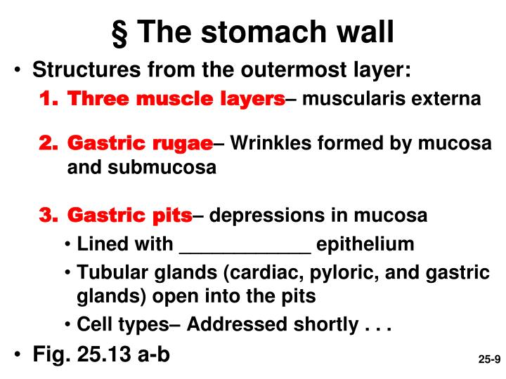 § The stomach wall