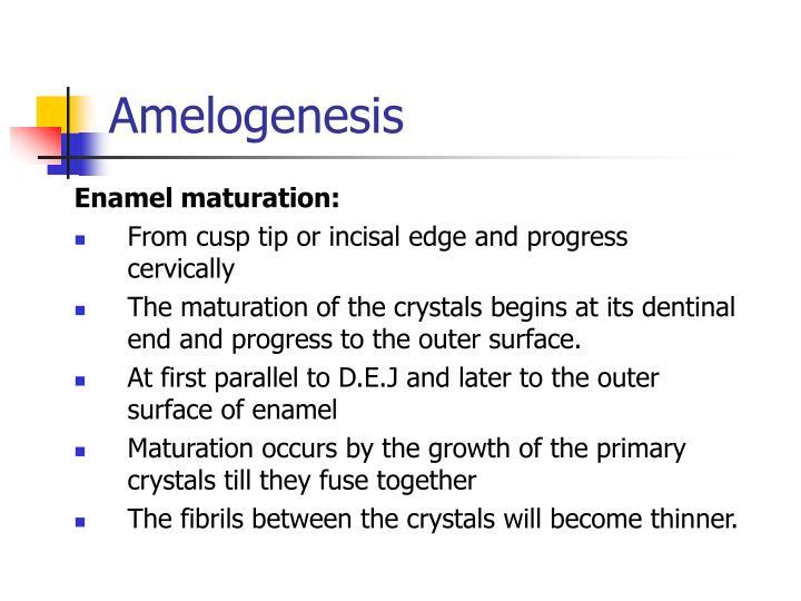Amelogenesis