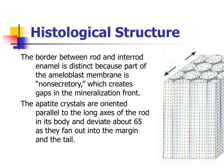 Histological Structure