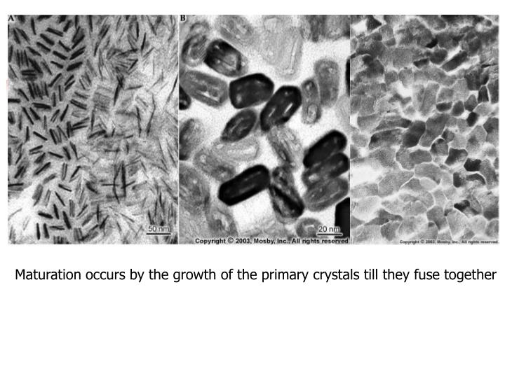 Maturation occurs by the growth of the primary crystals till they fuse together