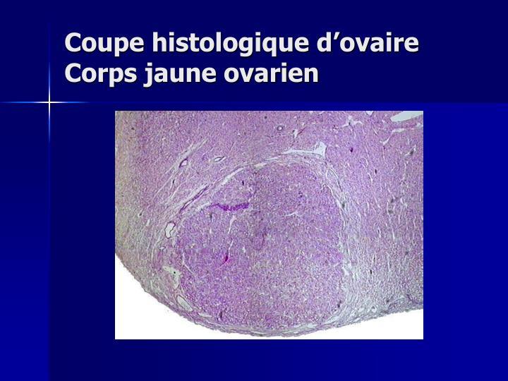 Coupe histologique d'ovaire          Corps jaune ovarien