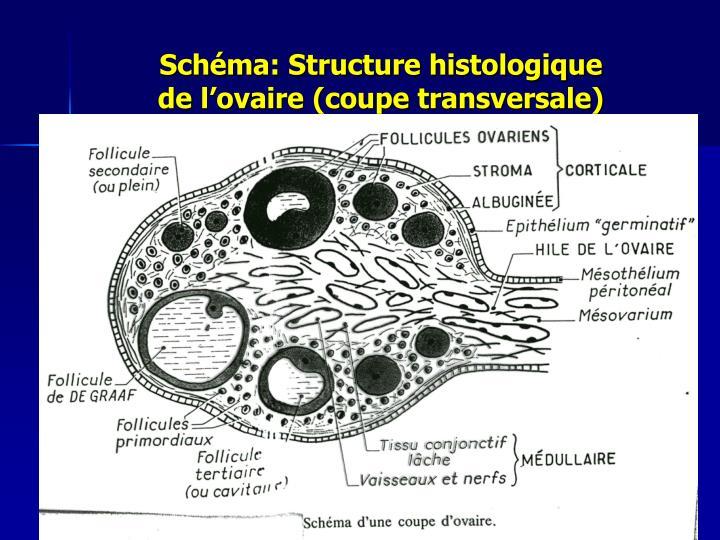 Schéma: Structure histologique                   de l'ovaire (coupe transversale)