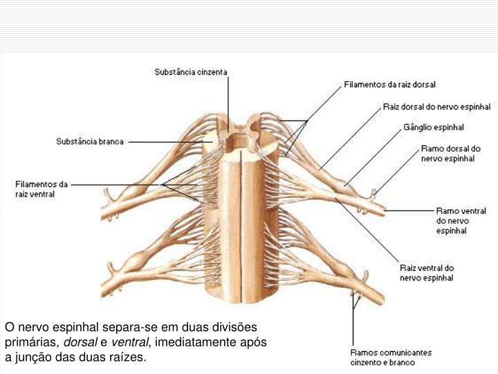 O nervo espinhal separa-se em duas divises primrias,