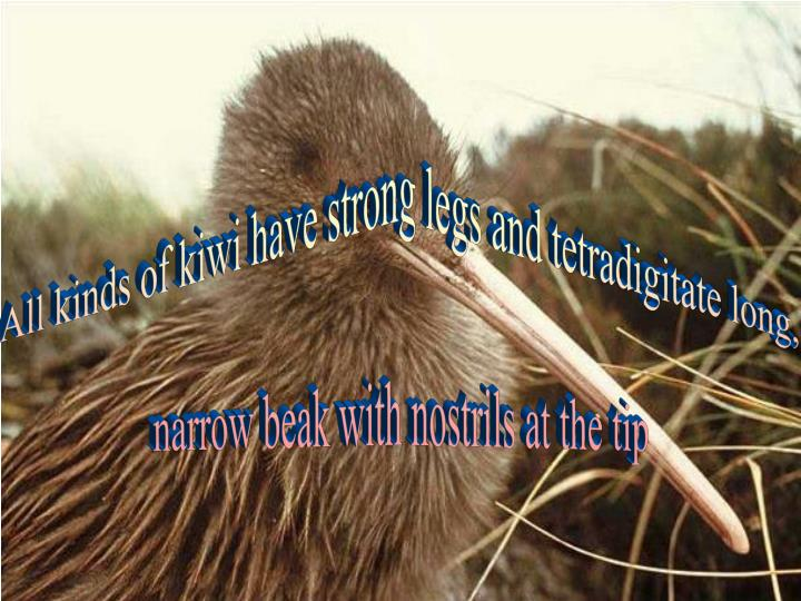 All kinds of kiwi have strong legs and tetradigitate long,