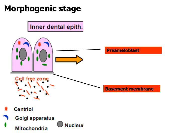 Morphogenic stage