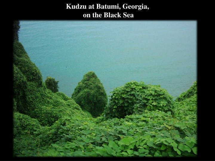 Kudzu at Batumi,