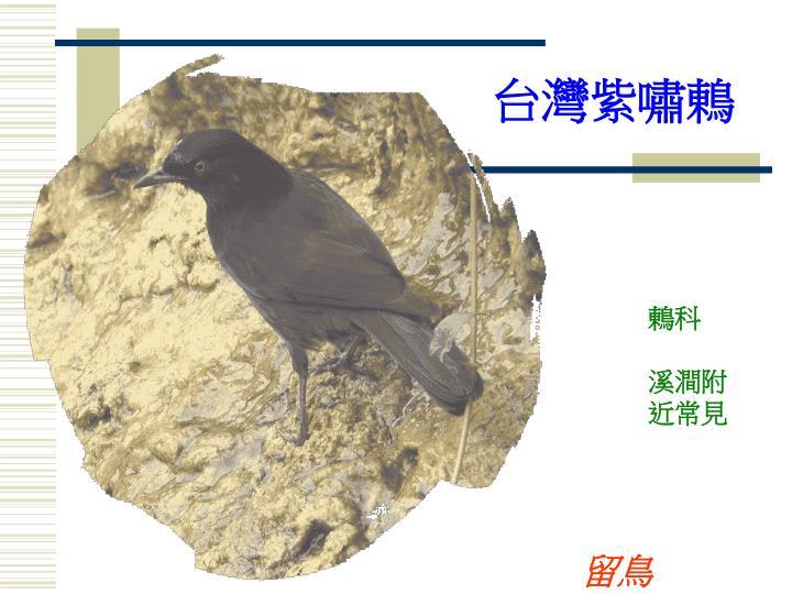 台灣紫嘯鶇