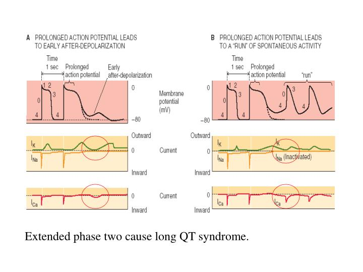 Extended phase two cause long QT syndrome.