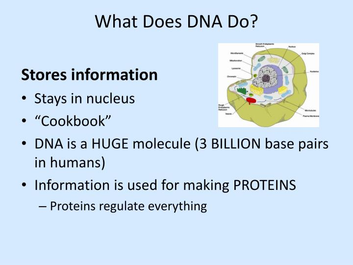 What Does DNA Do?