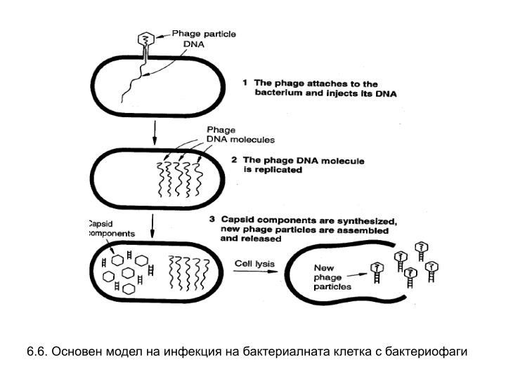 6.6. Основен модел на инфекция на бактериалната клетка с бактериофаги