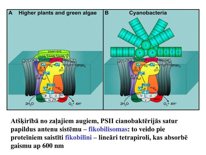 Atšķirībā no zaļajiem augiem, PSII cianobaktērijās satur papildus antenu sistēmu –