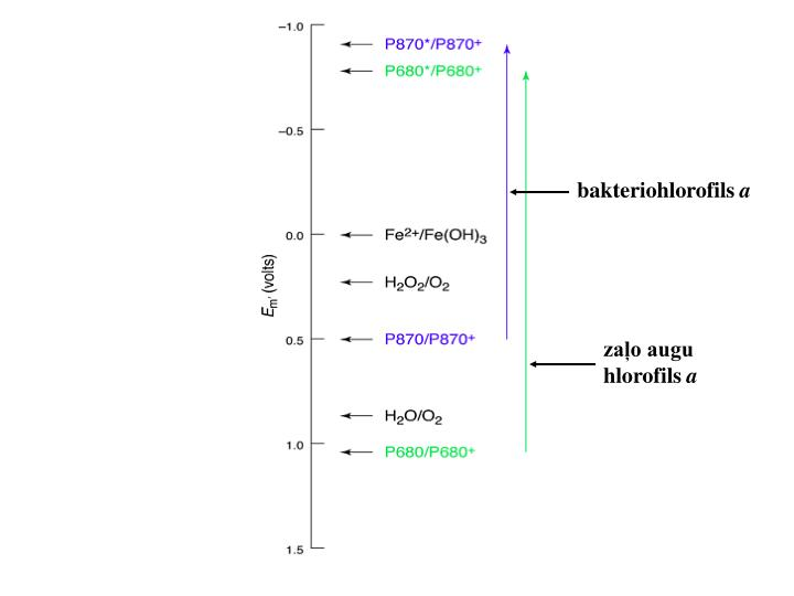 bakteriohlorofils
