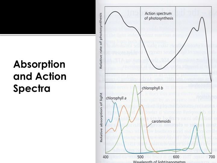 Absorption and Action Spectra