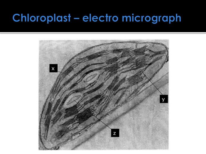 Chloroplast – electro micrograph