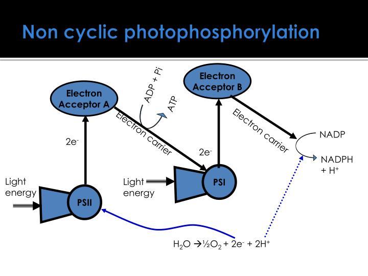 Non cyclic photophosphorylation