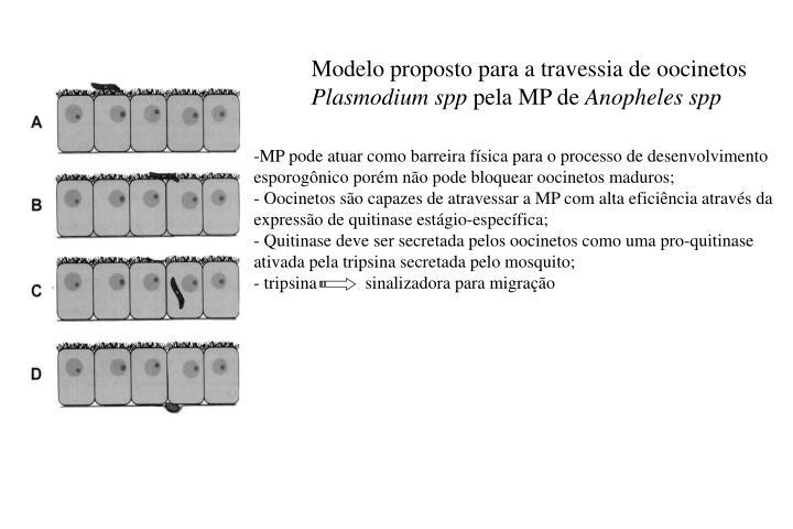 Modelo proposto para a travessia de oocinetos