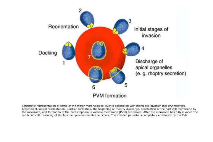 Schematic representation of some of the major morphological events associated with merozoite invasion into erythrocytes. Attachment, apical reorientation, junction formation, the beginning of rhoptry discharge, penetration of the host cell membrane by the merozoite, and formation of the parasitophorous vacuole membrane (PVM) are shown. After the merozoite has fully invaded the red blood cell, resealing of the host cell plasma membrane occurs. The invaded parasite is completely enveloped by the PVM.