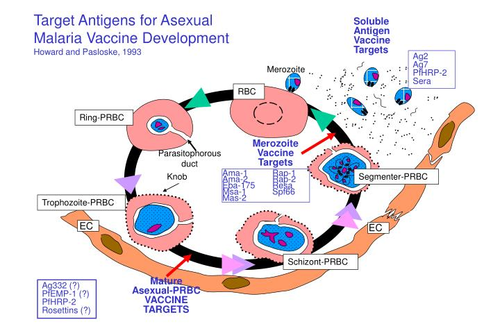 Target Antigens for Asexual