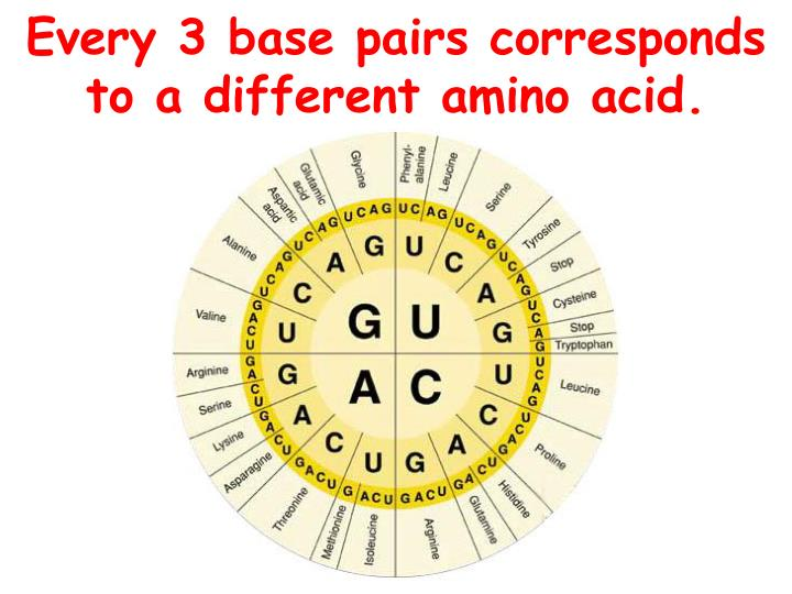 Every 3 base pairs corresponds to a different amino acid.