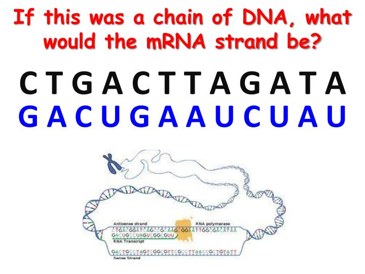 If this was a chain of DNA, what would the mRNA strand be?