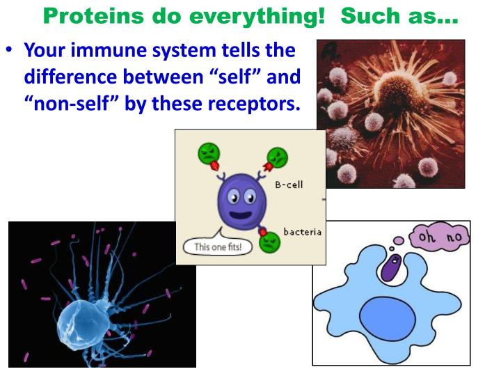 Proteins do everything!  Such as…