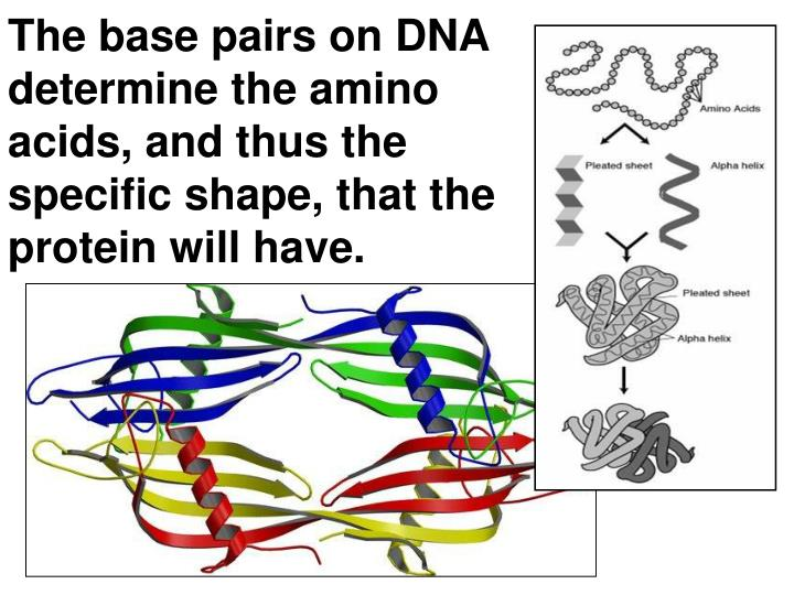 The base pairs on DNA determine the amino acids, and thus the specific shape, that the protein will have.