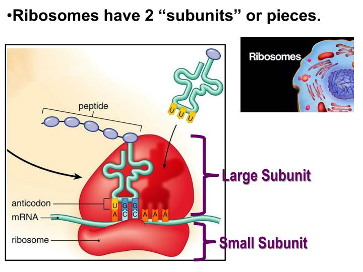 "Ribosomes have 2 ""subunits"" or pieces."