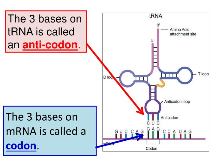 The 3 bases on mRNA is called a