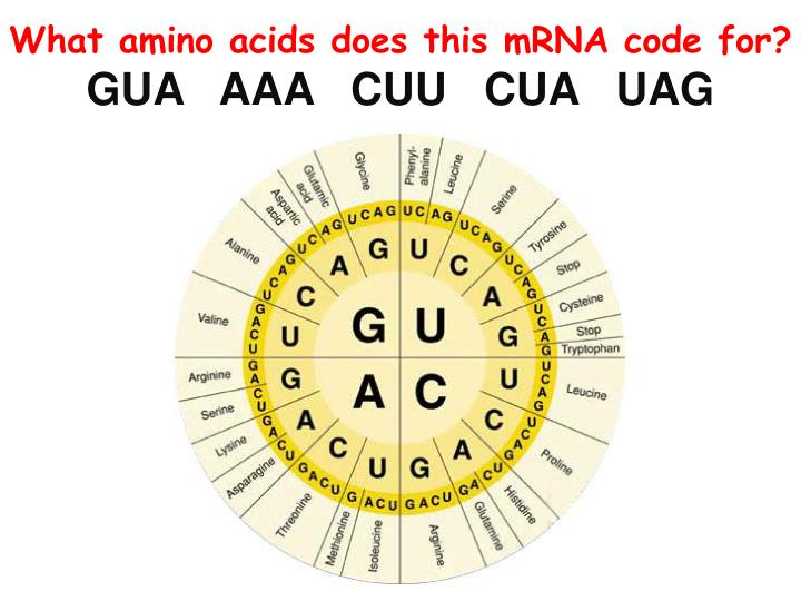 What amino acids does this mRNA code for?