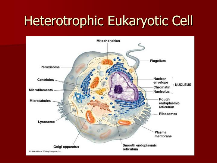 Heterotrophic Eukaryotic Cell