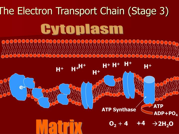 The Electron Transport Chain (Stage 3)