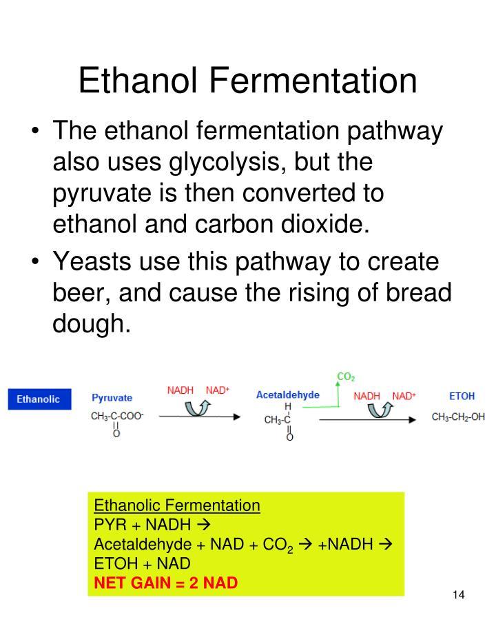 Ethanol Fermentation