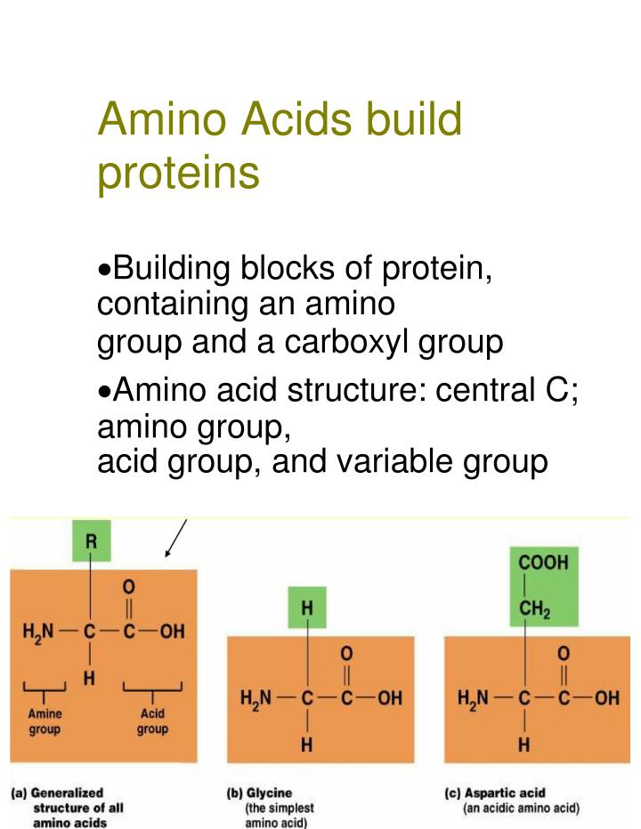 Amino Acids build proteins