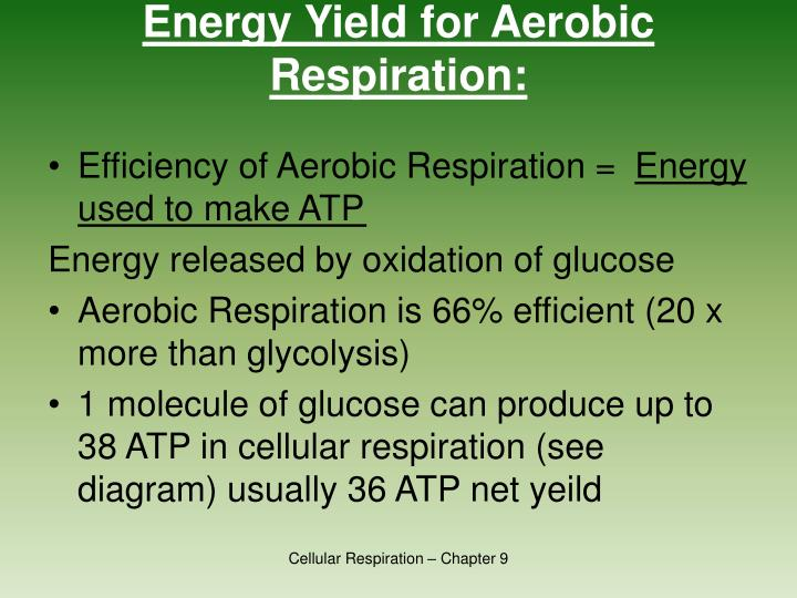 Energy Yield for Aerobic Respiration: