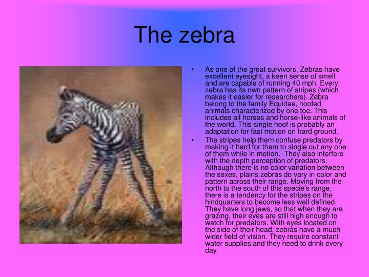 As one of the great survivors, Zebras have excellent eyesight, a keen sense of smell and are capable of running 40 mph. Every zebra has its own pattern of stripes (which makes it easier for researchers). Zebra belong to the family Equidae, hoofed animals characterized by one toe. This includes all horses and horse-like animals of the world. This single hoof is probably an adaptation for fast motion on hard ground.