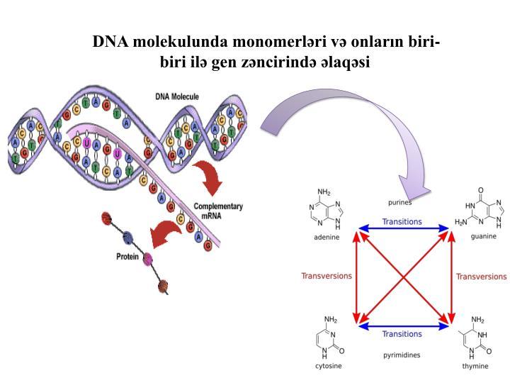 DNA molekulunda monomerləri və onların biri-biri ilə gen zəncirində əlaqəsi